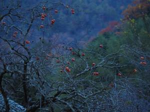 M40-150柿の木F2.8