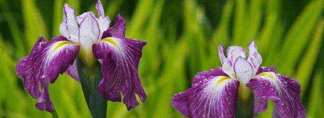 花ショウブ 滝谷花しょうぶ園