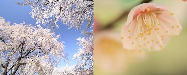 椎崎義之の写真の基本~梅・桜~